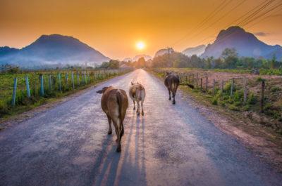 Laos Vang Vieng cows